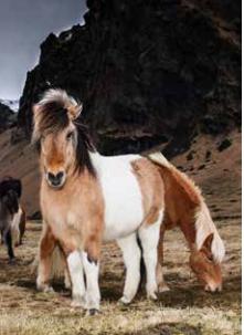 hafnarfjordur_horse