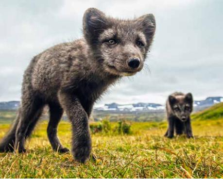 isafjordur_fox