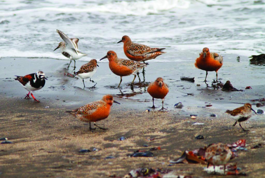 Raufarhöfn - fuglar i fjöru